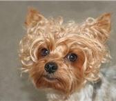 Изображение в Домашние животные Стрижка собак Домашняя стрижка вашего любимца, стрижка в Новороссийске 550