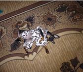 Фотография в Домашние животные Вязка собак Ищет девочку для случки в первый раз. в Нижнем Тагиле 0