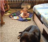 Foto в Домашние животные Вязка собак Хороший пес Пит буль без родословной ищет в Нижнем Тагиле 0