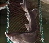 Foto в Домашние животные Рыбки Выполнить зарыбление водоёма редкой рыбой в Москве 350