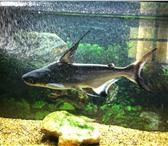 Foto в Домашние животные Рыбки Продам акулу 30 см. за 1000 руб. Вместе с в Саратове 1000