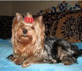 Фотография в Домашние животные Вязка собак Трех годовалый парень ищет подругу. Опыт в Калининграде 5000