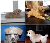 Изображение в Домашние животные Услуги для животных Качественные стрижки салонного уровня собак в Самаре 400